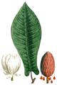 NAS-056w Magnolia fraseri.png