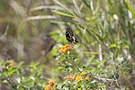NASA Kennedy Wildlife - Palamedes Swallowtail Butterfly.jpg