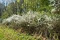 NSG Ithwiesen - Südlicher Teil bei Holzen - Blühender Schlehdorn (Prunus spinosa) (8).jpg