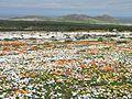 Namaqualand flowers 1.JPG