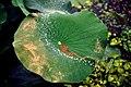 Nelumbo nucifera (Nelumbonaceae) © W. Barthlott, Lotus-Salvinia.de, (8-94).jpg
