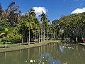 Nelumbo nucifera pond Mauritius 2019-09-27 4.jpg