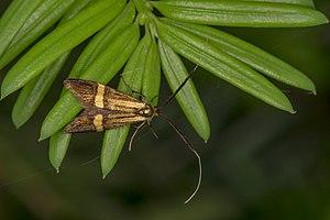 Nemophora degeerella, Lodz(Poland)01(js).jpg
