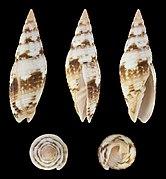 Neocancilla maculosa 01.jpg