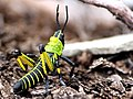 Neon Grasshopper - panoramio.jpg