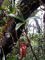 Nepenthes talangensis3.jpg