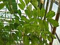 Nephelium lappaceum (DITSL).JPG