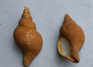 Neptunea angulata - Shells of Neptunea angulata
