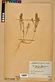 Neuchâtel Herbarium - Alyssum alyssoides - NEU000021929.jpg