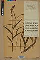 Neuchâtel Herbarium - Cephalanthera rubra - NEU000046823.jpg