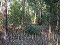 Nijhum dwip Botanical forest 1.jpg