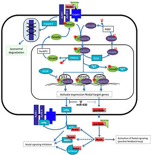 Nodal signaling pathway - Overview of Nodal signaling pathway. Nodal and its repressor Lefty are both expressed in response to Nodal signaling. The protein expression levels are affected due to the activity of the miR-430 super-family. Once the protein is translated, it has to be processed in the extracellular space by Convertases (Furin and PACE4). Mature Nodal binds to the Activin receptors I and II and the co-receptor Cripto/Criptic and phosphorilates Smad2 /3. These Smads form a complex with Smad4 and enter into the nucleus and with the help of p53, Mixer or FoxH1 activate the transcription of genes involved in mesoderm and endoderm induction. Ectodermin, PPM1A, XFDR and Tgf1 negative regulate the pathway by competing with Smad components or transcription factors. The interaction of Nodal with BMPs (BMP3, BMP7), Lefty or with Cerberus in the outside of the cells affects its capability to bind to the receptors and reactivate the signal.