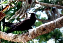 Lady Musgrave Island-Wildlife-NoddyTerns-LadyMusgrave