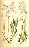 Nordens flora Silene latifolia et nutans.jpg