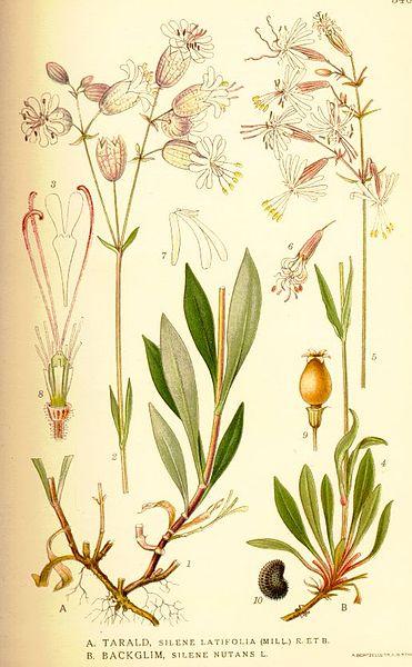 external image 371px-Nordens_flora_Silene_latifolia_et_nutans.jpg