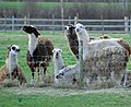 Normanton Llamas.jpg