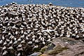 Northern Gannets St Mary Cape Newfoundland (40650829004).jpg