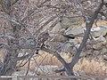 Northern Goshawk (Accipiter gentilis) (31273749157).jpg