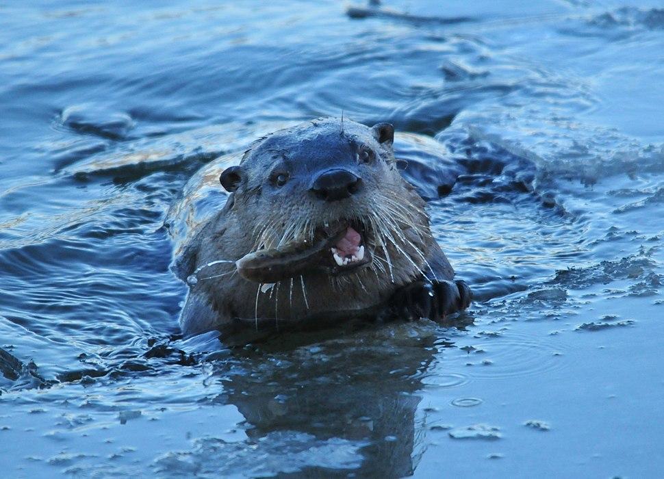 Northern River Otter Eating White Sucker on Seedskadee NWR (22984535449)
