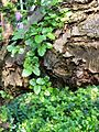 Nothofagus-antarctica-uncertain-germany-1000588.JPG
