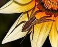 Nurseryweb Spider... (6913505652).jpg
