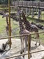 Nyíregyháza Zoo, giraffe.jpg