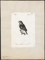 Nyctala acadica - 1842-1848 - Print - Iconographia Zoologica - Special Collections University of Amsterdam - UBA01 IZ18400223.tif