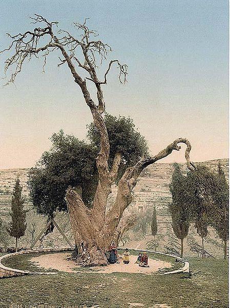 http://upload.wikimedia.org/wikipedia/commons/thumb/8/8b/Oak_of_Mamre_circa_1900_colored_photo.jpeg/449px-Oak_of_Mamre_circa_1900_colored_photo.jpeg