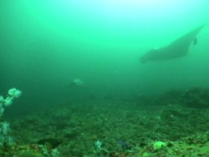 File:Oceanic-Sharks-Clean-at-Coastal-Seamount-pone.0014755.s006.ogv