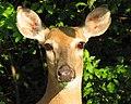Odocoileus virginianus (white-tailed deer) 2 (8269178103).jpg