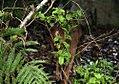 Odocoileus virginianus truei 12zz.jpg