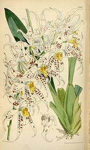 Odontoglossum cirrhosum