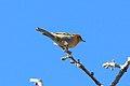 Olive Warbler (Peucedramus taeniatus) 1.jpg