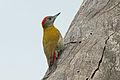 Olive Woodpecker, Sakania, DRC (12404103034).jpg