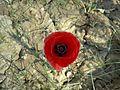 Opium or Papver sp.jpg