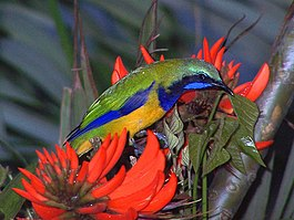 Orange bellied leafbird.jpg