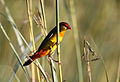 Orange breasted waxbill, Amandava subflava, at Suikerbosrand Nature Reserve, Gauteng, South Africa (25611059680).jpg