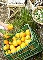 Orangensaft Mallorca 2008 2.JPG
