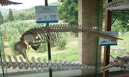 Irrawaddy mum skeleton specimen exhibited in Museo di storia naturale e del territorio dell'Università di Pisa - Irrawaddy dolphin