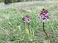 Orchis purpurea, crveni kaćun.jpg