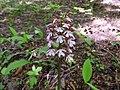 Orchis purpurea 20.JPG