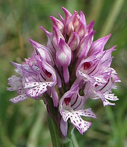 Orchis tridentata 06 mg-k.jpg