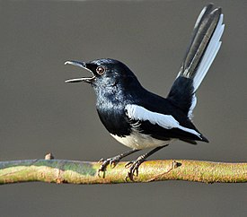 Oriental Magpie Robin (Copsychus saularis)- Male calling in the rain at Kolkata I IMG 3746.jpg