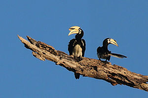 Oriental pied hornbill - Male (left) and female (right) Kinabatangan River, Borneo