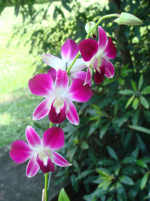 Pink and white Orchid.