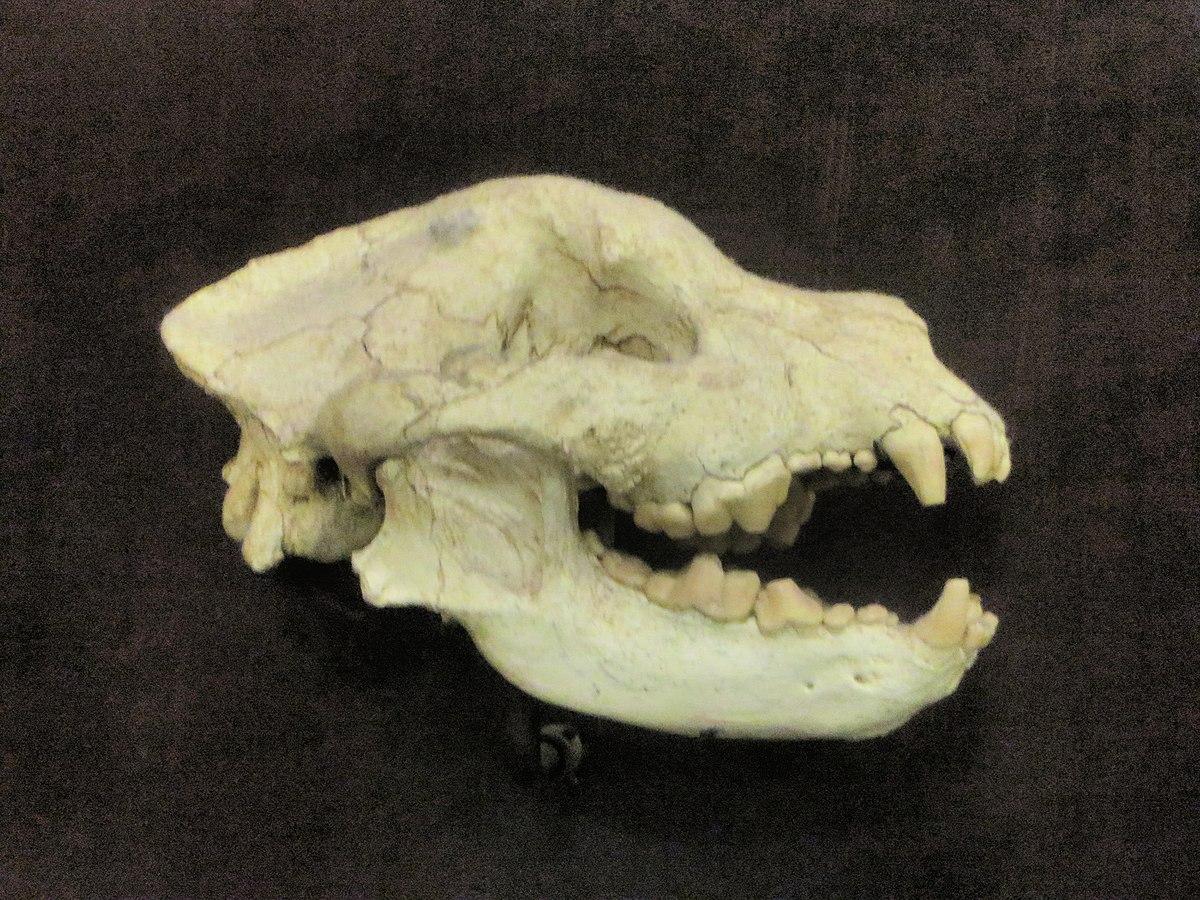 Borophagus - Wikipedia