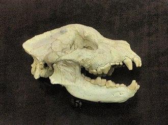 Borophagus - Borophagus secundus skull