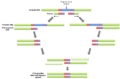 Overlap Extension PCR.png