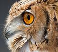Owl 3 (6942393553).jpg
