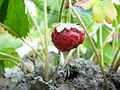 Owoc truskawki.JPG